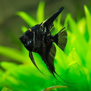 Marble Veil Angelfish Discus Madness