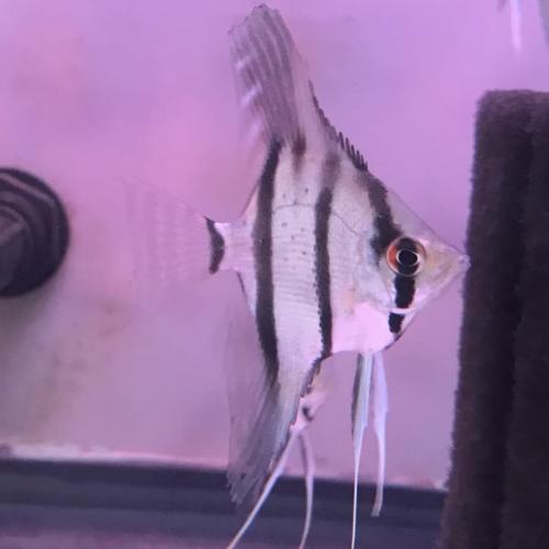 Red Shoulder Rio Manacapuru Angelfish (red Back Scalare