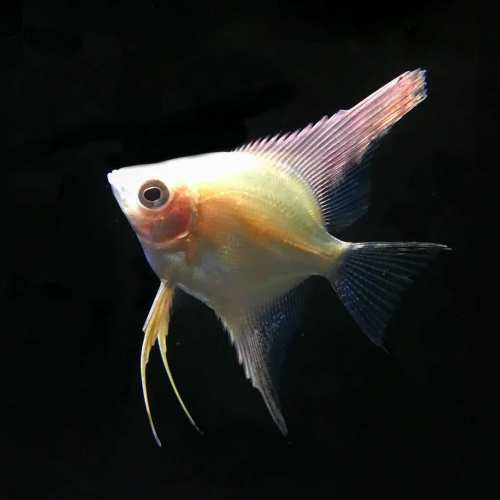Gold Angelfish Discus Madness