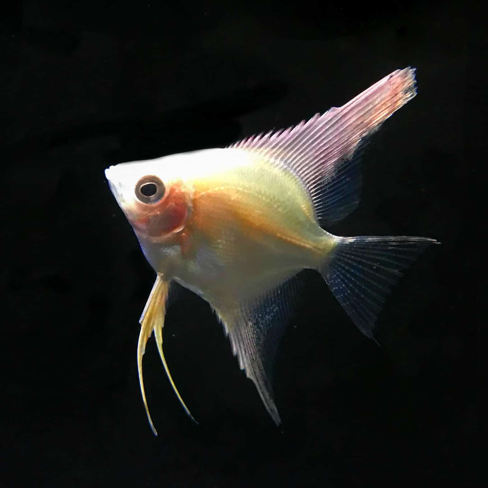 Gold Angelfishcurrently Unavailable Discus Madness