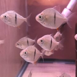 Red Belly Piranha – Discus Madness