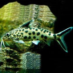 Synodontis Angelicus – Polkadot Catfish (Tank Raised ...