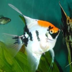 Black velvet angelfish discus madness for Koi fish for sale nj