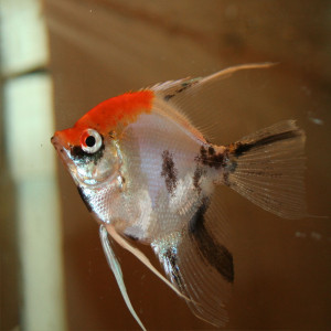 Koi angelfish red headcurrently unavailable discus madness for Koi fish for sale nj