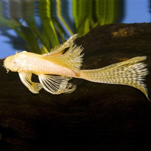 Verwonderend Albino Long-fin Bushynose/Bristlenose Pleco – (Ancistrus sp JW-66