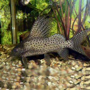 Catfish (non-corydoras)